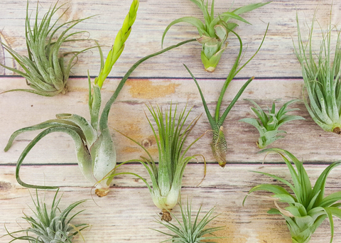 Air Plant - Tillandsia Assorted Variety