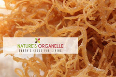 Jamaican Raw Sea Moss