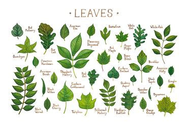 Leaves of North America 13x19 Print