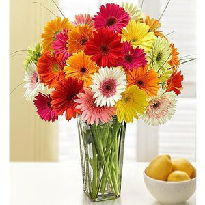 1-800-Flowers Two Dozen Gerbera Daisies with Clear Vase - Alilight.net