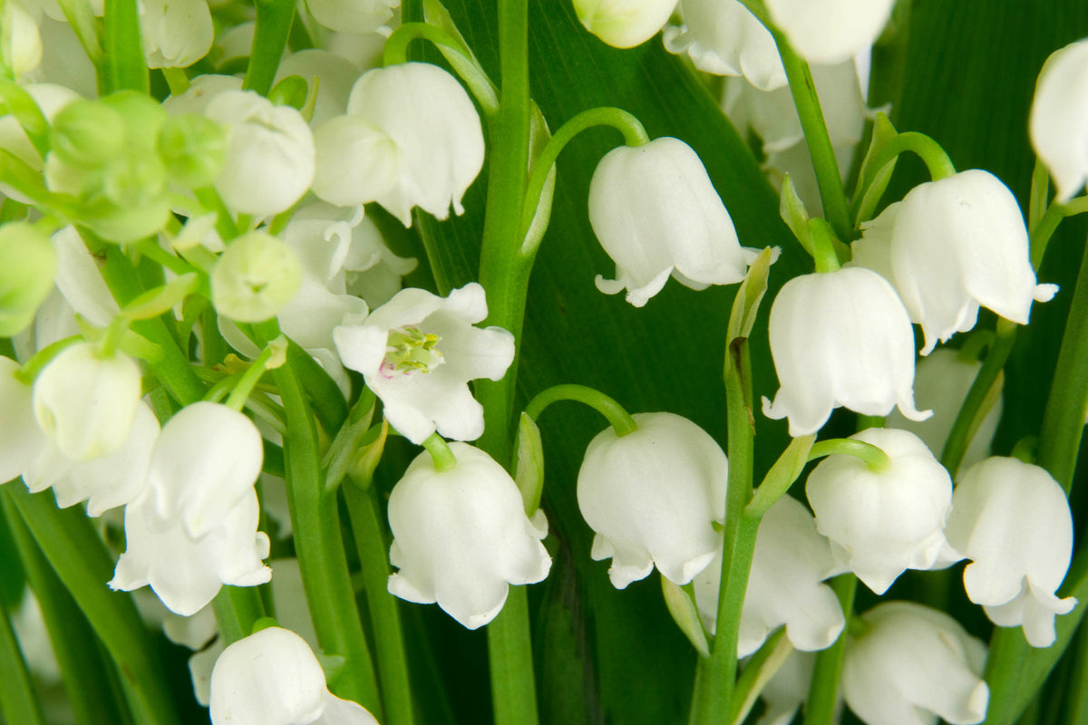 Lily Of The Valley Cleveland Candle Company
