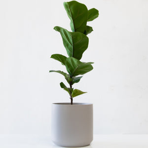 Fiddle Leaf Fig - Sage Sisters