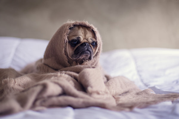 a cute Pug dog wrapped in a linen blanket sat on a bed - looks a bit like Yoda