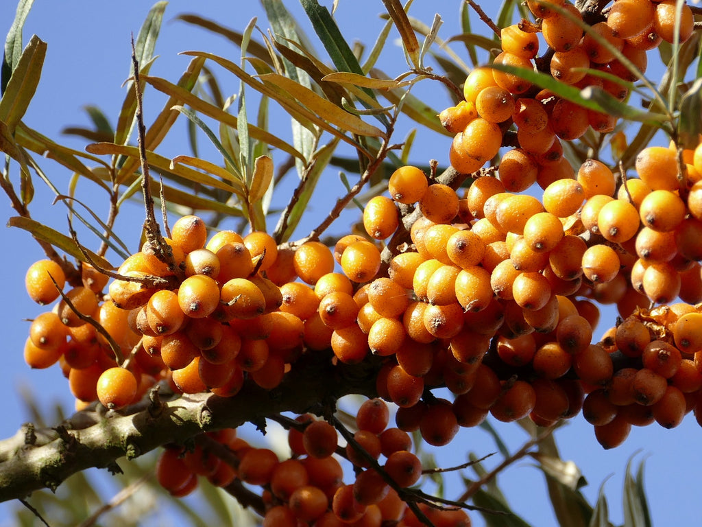 5 Fun Facts About the Sea Buckthorn Berry