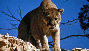 Man suffocates and kills Colorado mountain lion after being attacked