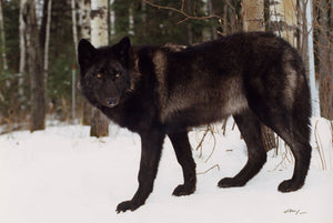 Wolves to lose federal protection in 48 states