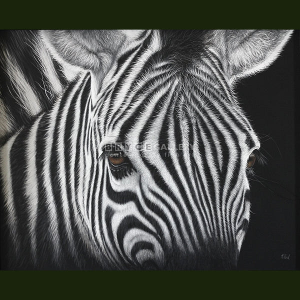 Are A Zebras Stripes Black... Or White Gicléés Prints