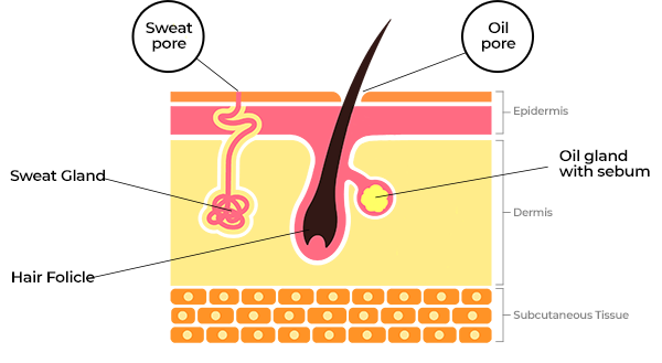Schematic section of skin showing sweat glands and pores and oil glands and pores