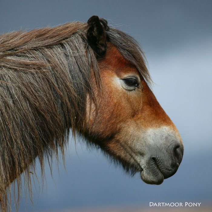 Neighing Dartmoor Pony Sound Card [RWUK6033]