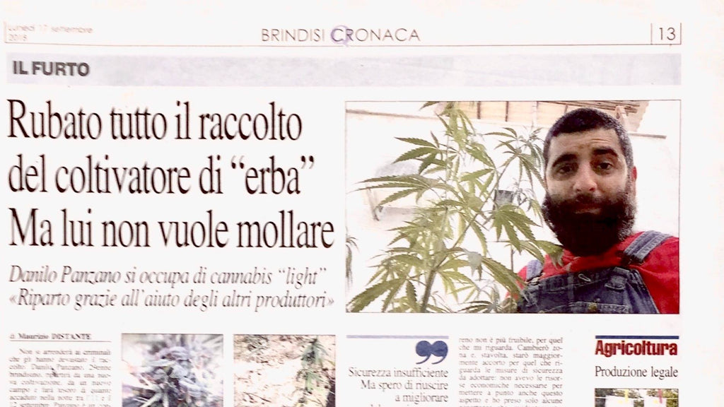 furto cannabis light Brindisi quotidiano puglia - NegozioCBD.it