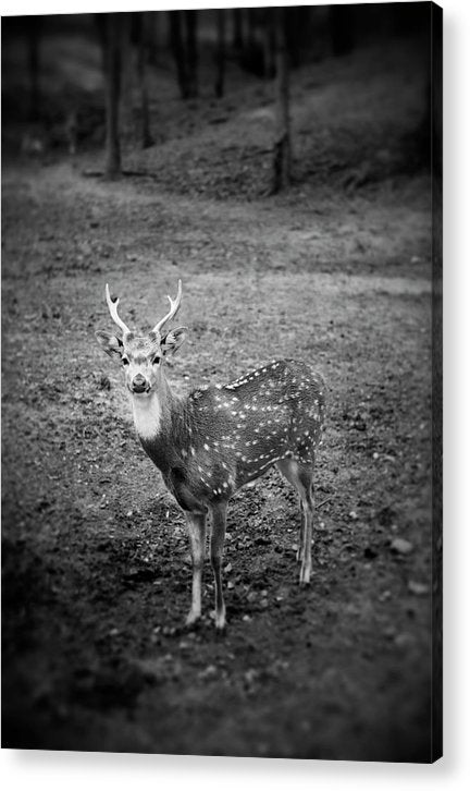 Deer Photo By Blayne Macauley - Acrylic Print
