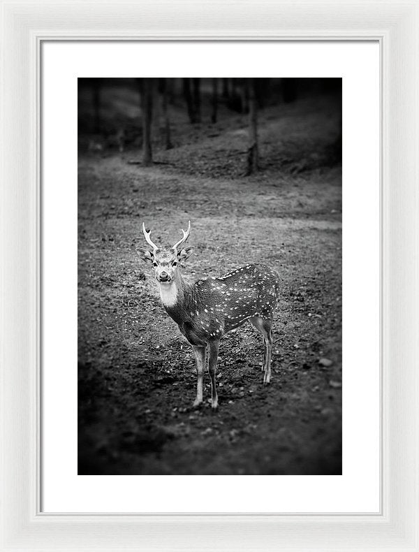 Deer Photo By Blayne Macauley - Framed Print