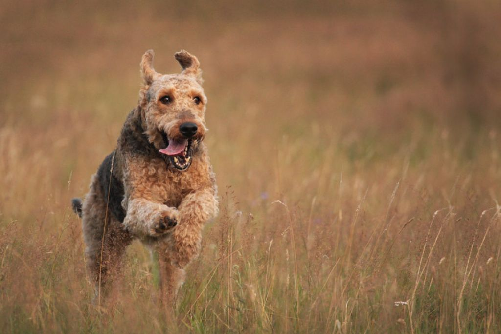 Airedale Training - You Don't Have to be an Expert to be Successful