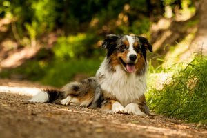 Australian Shepherds Training - 3 Ready to Go Tips You Can Implement Today
