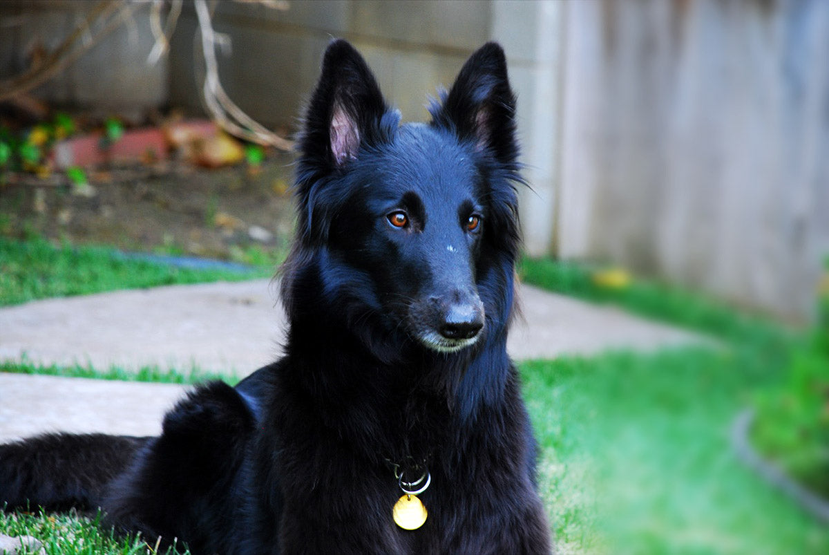 The Guide to Groom Your Belgian Shepherd