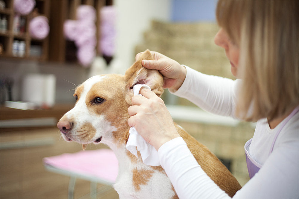 6 Proven Steps for Healthy Dog Ears
