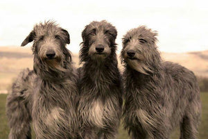 Irish Wolf Hound grooming needs