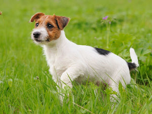 Jack and Parson Russel Terrier Grooming Guide