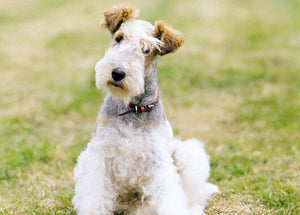 Grooming your Wirehair Fox Terrier
