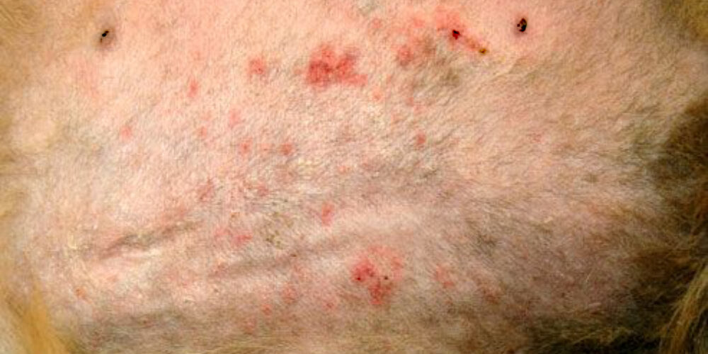 Dog skin infections