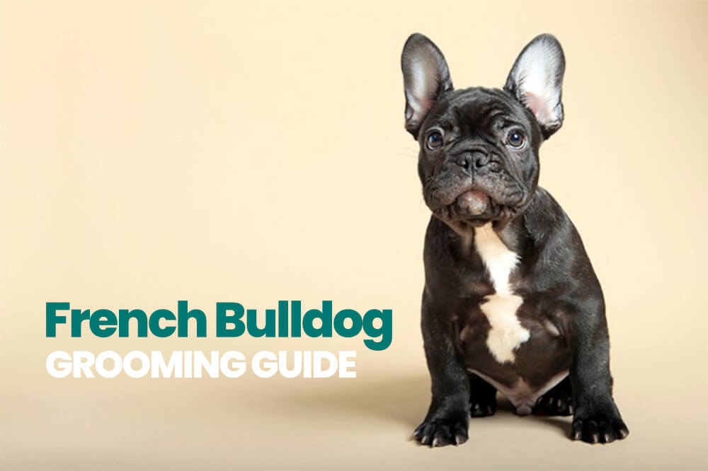 French Bulldog grooming guide