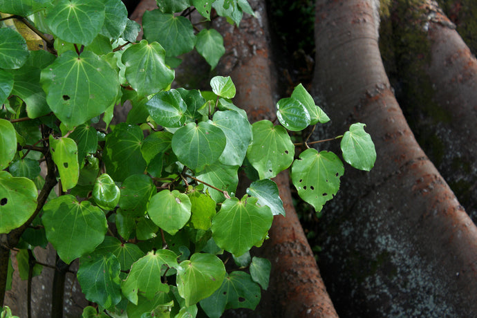 The beautiful story behind our Kawakawa and Manuka balm