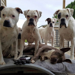 The Boxers & The Bully's Pack