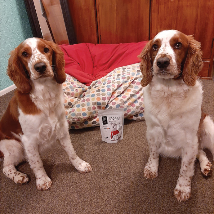 Two Welsh Springer Spaniels