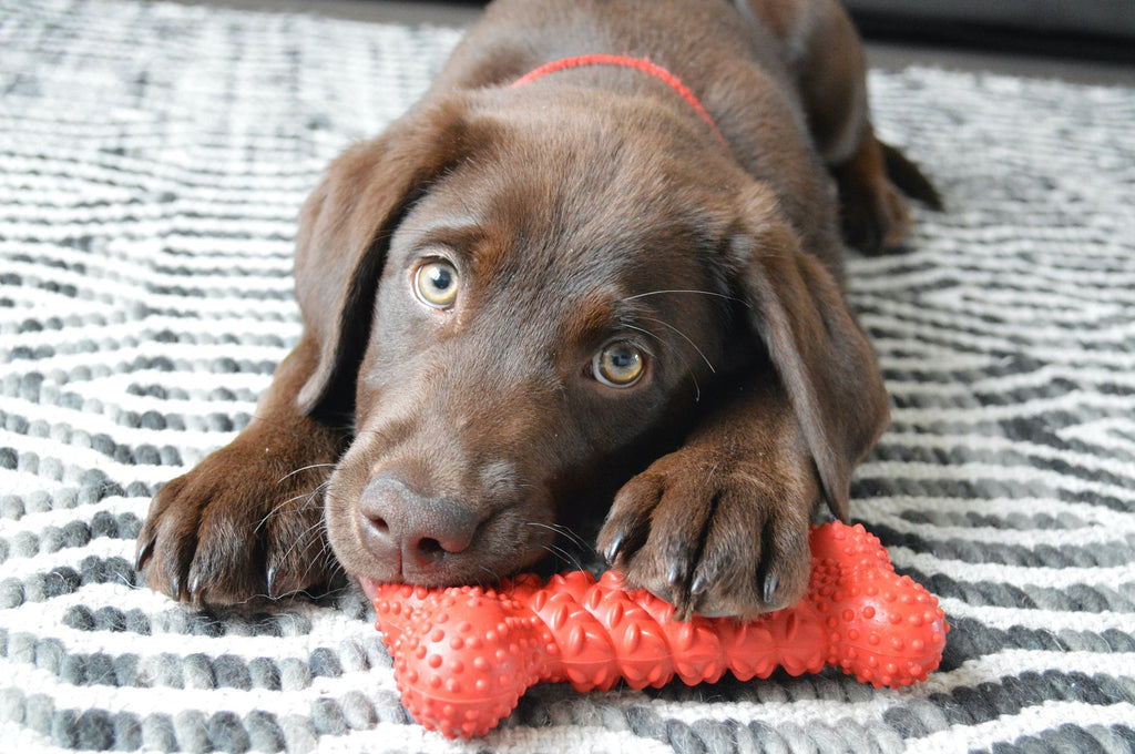 Banner Image - Dog with Chew Toy