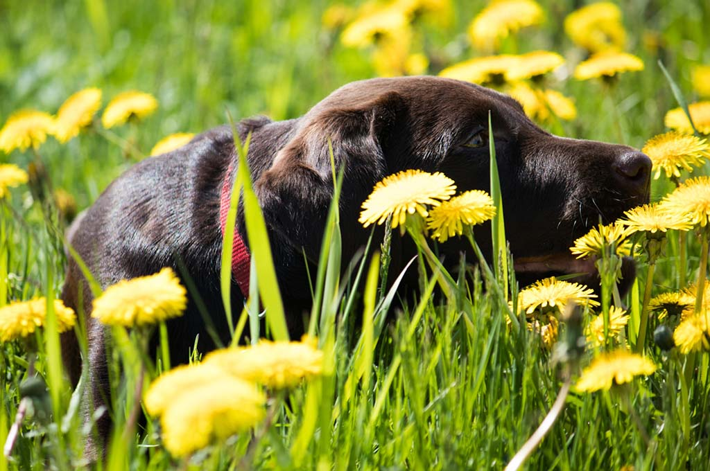 Dog laying in grass surrounded by dandelions.