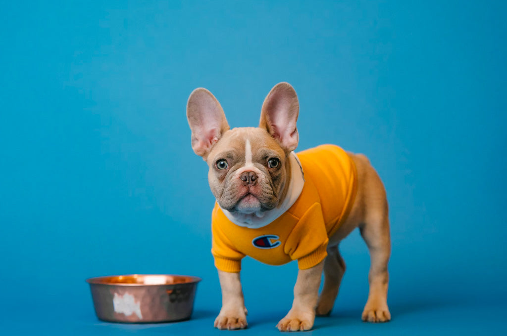 French bulldog standing next to food bowl.