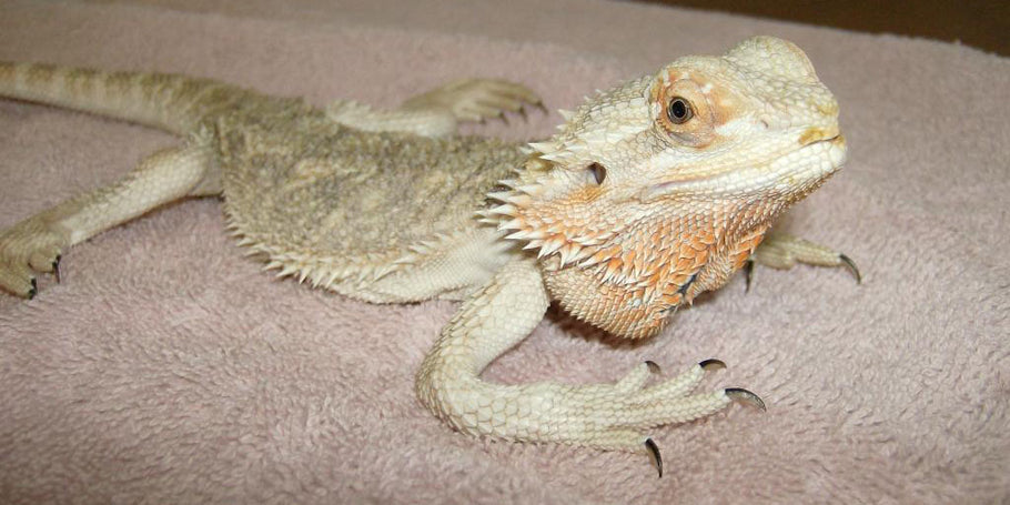 Preventing Metabolic Bone Disease In Bearded Dragons & Other Reptiles