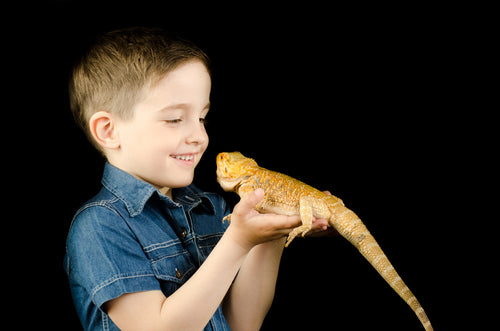 Top 5 Considerations When Buying A  Bearded Dragon (Or Other Reptile) For A Child
