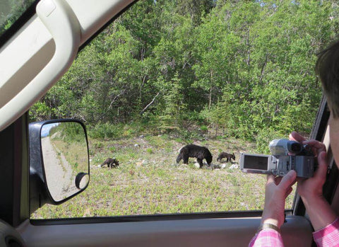 Black bears in the Yukon during a Skagway Van Tours day excursion