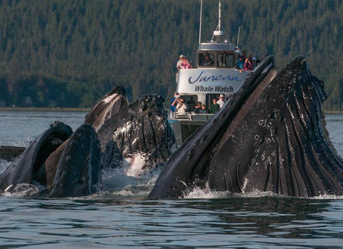 Humpback whales bubble-netting near Juneau, Alaska with Juneau Tours
