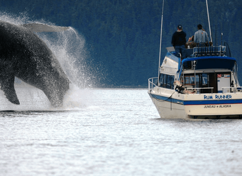 Rum Runner Charters in Juneau, Alaska offers some of the best whale watching and salmon fishing excursions