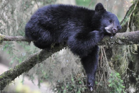 Black bear cub sleeping in a tree in Alaska