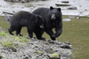 Two black bears searching for salmon in Alaska