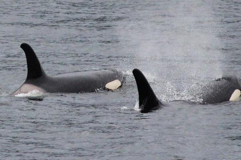 Two orca whales swimming in Alaska