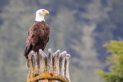 Bald eagle sitting on totem pole in Ketchikan, Alaska