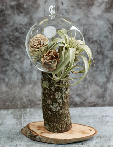 Tillandsia Xerographica in a glass florarium
