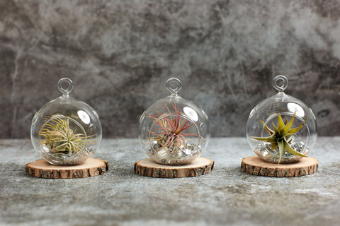Air plants in glass terrarium