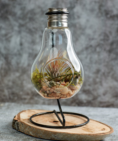 Air plants terrarium, air plants in light bulb