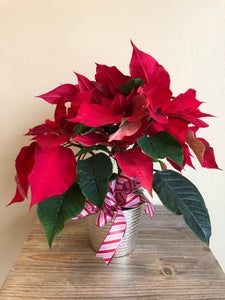 "4"" Potted Poinsettia"