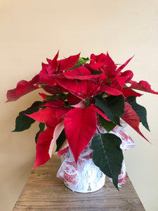 "6"" Potted Poinsettia"