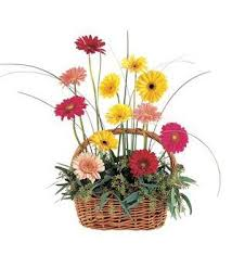 TF 202-2 Gerberas in Wicker Basket