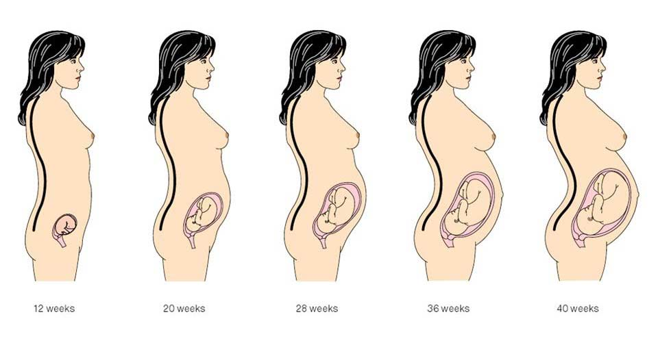 Womens Pregnancy Stages