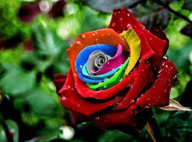 100 Seeds/pack Rare Holland Rainbow Rose Seeds