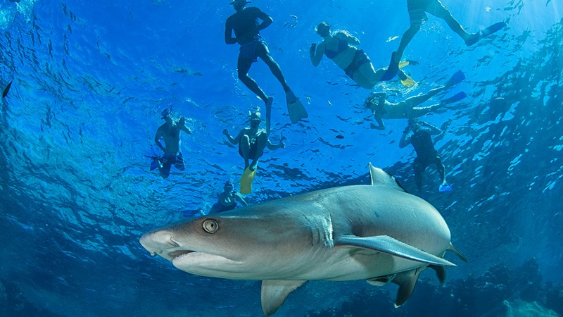 Snorkel with Sharks