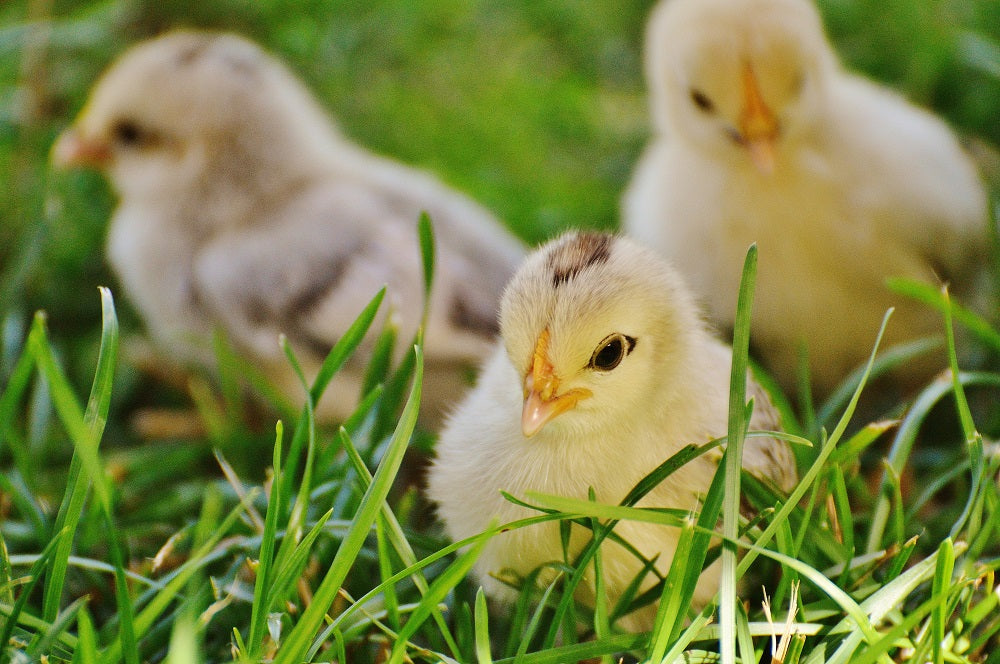Common Diseases in Chicks to Look Out For